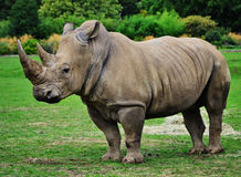 Rhino head Royalty Free Stock Photo