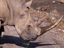 Rhino head reported bet up Royalty Free Stock Photography