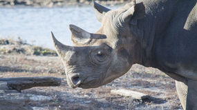 Rhino head shot Royalty Free Stock Images