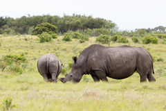 Rhino with her baby walking away. Rhino standing and looking at her baby walking away in the field royalty free stock images