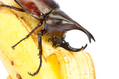 Rhino hercules beetle Stock Photography