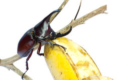 Rhino hercules beetle Stock Photo