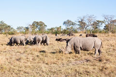 Rhino herd standing on grass plain Royalty Free Stock Photos