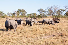 Rhino herd standing on grass plain Royalty Free Stock Photo