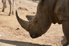Rhino With His Head Lowered to the Ground royalty free stock image