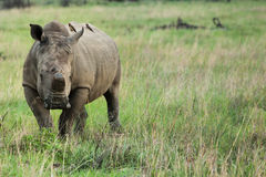 Rhino with horn cut off Stock Photo