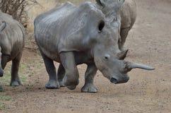 Rhino horn Stock Photos