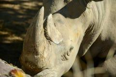 Rhino horn. Rhino`s horn is a Rhino`s life stock photos