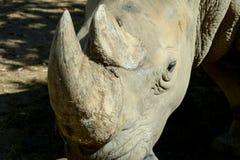 Rhino horn. Rhino`s horn is a Rhino`s life stock images