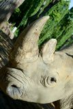 Rhino horn. Rhino`s horn is a Rhino`s life stock photography