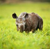 Rhino. Horn savannah africa botswana bush tree muzzle royalty free stock photo