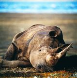 Rhino. Horn savannah africa botswana bush tree muzzle stock photo