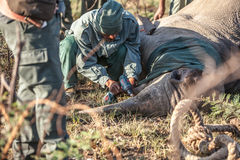 Rhino Horn transmitter. Anti Rhino poaching unit place transmitters or sometimes inject poison into the rhino horn in order to stop poachers killing rhinos for Royalty Free Stock Photos