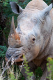 Rhino with horns. Head of a young male white Rhino showing fine set of horns Stock Image