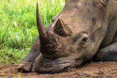 Rhino Horns Wildlfe. White rhinoceros resting at midday. Close-up telephoto lens of Horn and Eye detailed texture Royalty Free Stock Photography