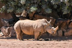 Rhino on a hot sunny day in natural savannah envoironment. Rhino on a hot sunny day in natural savannah royalty free stock photography