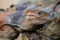 Rhino Iguana. A rhinoceros iguana almost perfectly camouflaged lying amongst the rocks and brush royalty free stock photos