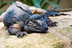 Rhino Iguana. Close up of a Rhino Iguana resting on a boulder Royalty Free Stock Photos
