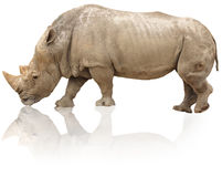 Rhino isolated Stock Photos