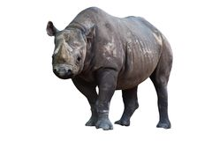 Rhino isolated on white background. Grey rhino at zoo, isolated on white background, lateral view, isolated on white background Royalty Free Stock Images