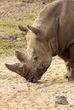 Rhino with its head near the ground Royalty Free Stock Photos