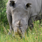 Rhino close up Royalty Free Stock Photography