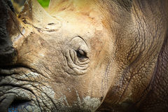 Rhino. Are killed by humans for their horns Stock Images