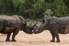Rhino Kiss Royalty Free Stock Images