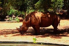 Rhino in Korat Zoo. Thailand. Biggest Rhino the animal in the wild in Korat Zoo. Thailand stock photo