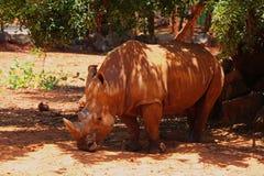 Rhino in Korat Zoo. Thailand. Biggest Rhino the animal in the wild in Korat Zoo. Thailand royalty free stock photography