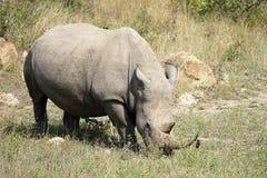 Rhino. In the Krüger National Park Royalty Free Stock Photos