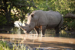 Rhino in Kruger Park royalty free stock photos