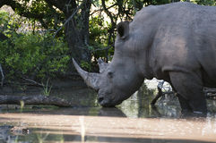 Rhino in Kruger Park Stock Image