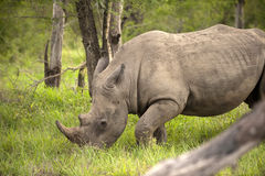 Rhino in Kruger Park Stock Images