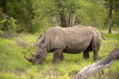 Rhino in Kruger Park Stock Photo