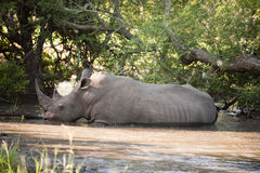 Rhino in Kruger Park Stock Image