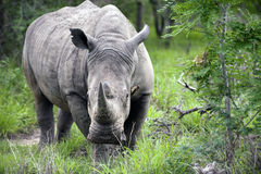 Rhino in Kruger Park Royalty Free Stock Images