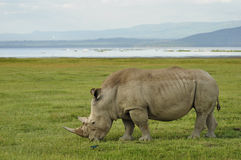 Rhino. A rhino at lake Nakuru Africa royalty free stock photography