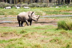 Rhino at Lake Nakuru National Park Stock Photography