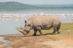 Rhino by the Lake Royalty Free Stock Photos