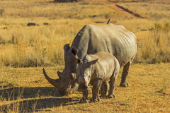 Rhino with large horn and baby. In the African bush royalty free stock photo