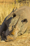 Rhino with large horn lying down to rest. With oxpeckers on its back stock photo