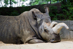 Rhino laying on ground Royalty Free Stock Photo