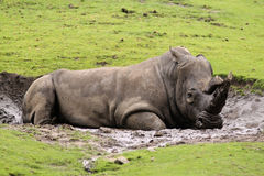 Rhino laying in the mud Stock Photos