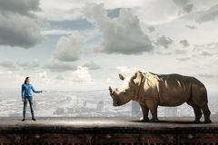 Rhino on lead Stock Photos