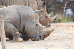Rhino lie down on the ground. Rhino lie down on the ground stock image
