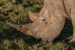 Rhino with long horn eating grass Royalty Free Stock Photos