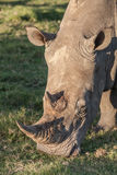Rhino with long horn eating grass Stock Photos