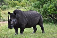 Rhino look. Rhino staring down his visitors Royalty Free Stock Photos