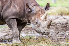 Rhino Looking Forward Royalty Free Stock Photography